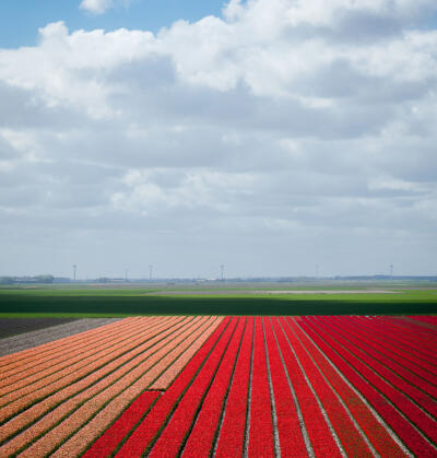 Spring in the Netherlands, red and orange tulips field